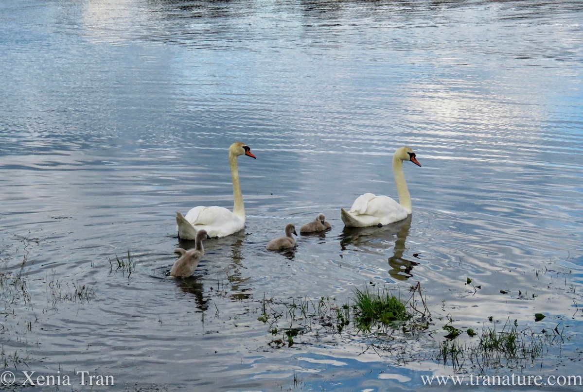 a swan family swimming down a tidal river at twilight