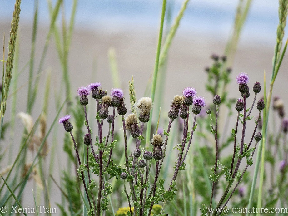 thistles, wild wheat and grasses in the dunes
