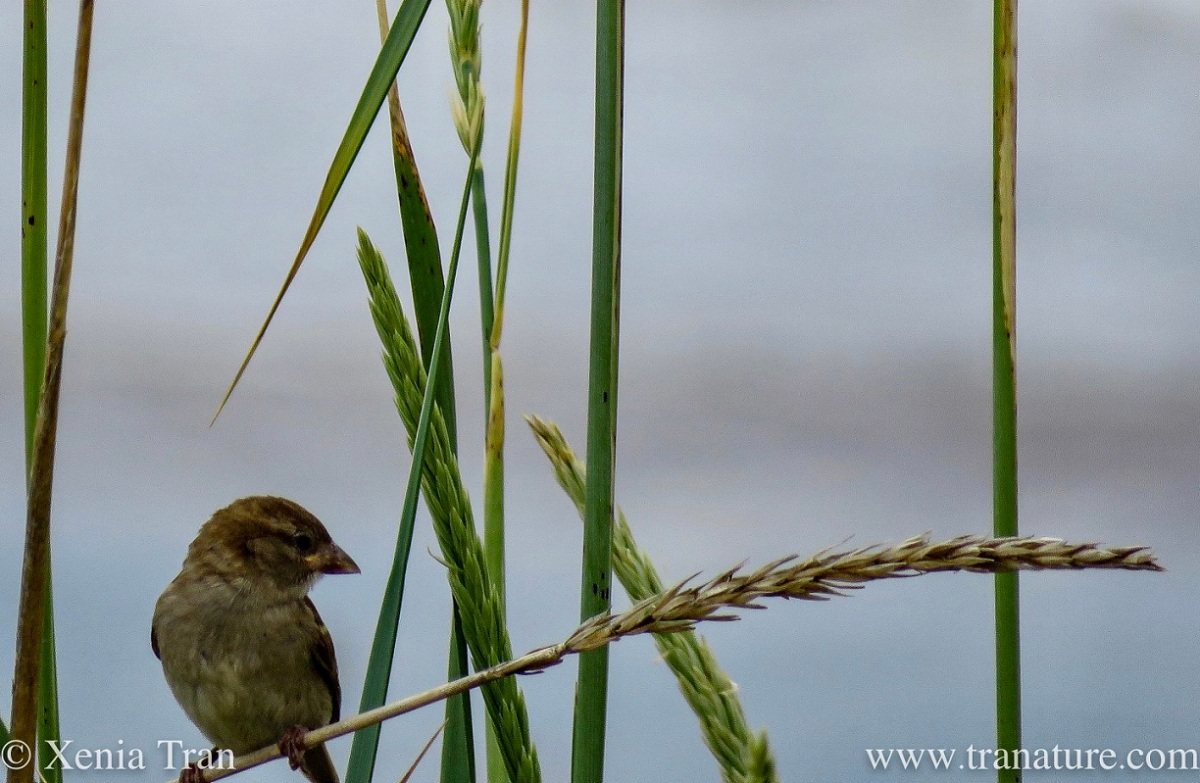 a sparrow balancing on a wild wheat stalk