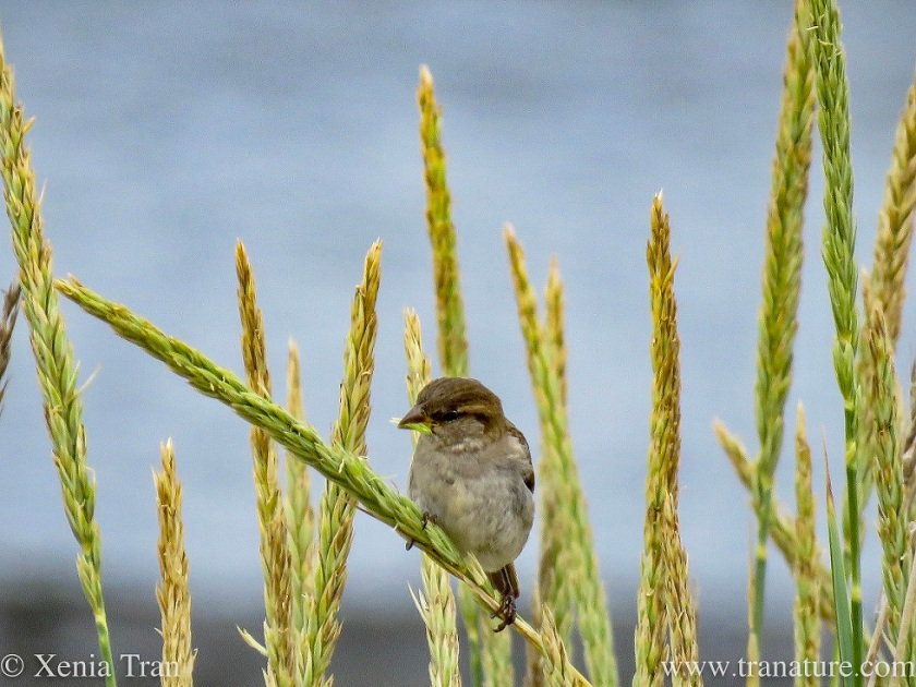 a house sparrow feeding on wild wheat