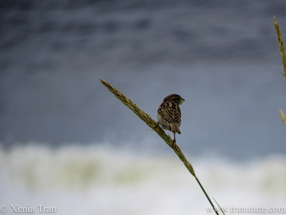a sparrow balancing on a wheat stalk by the sea