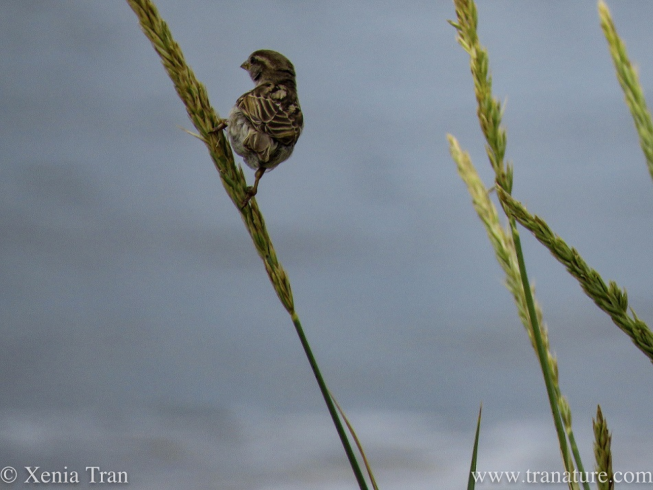 a sparrow surfing on a wild wheat stalk