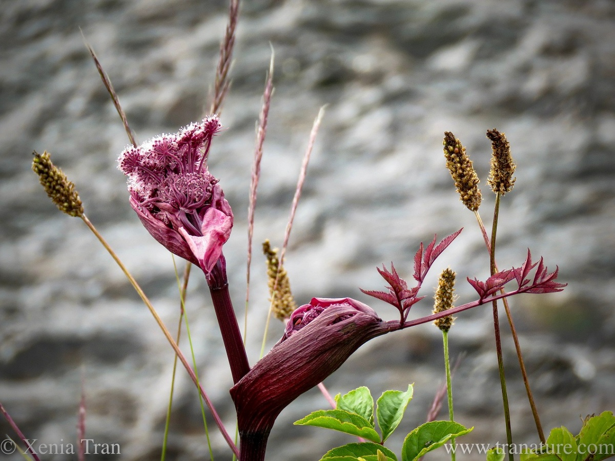 wild angelica growing on a riverbank