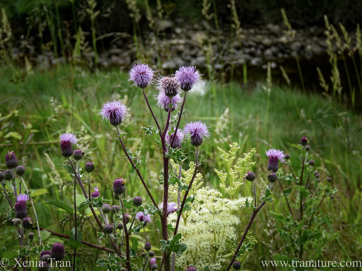 Tanka: Meadowsweet and Thistle