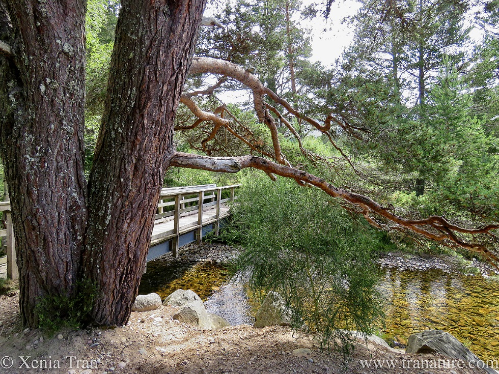 an ancient pine overhanging a mountain stream with a wooden bridge behind it