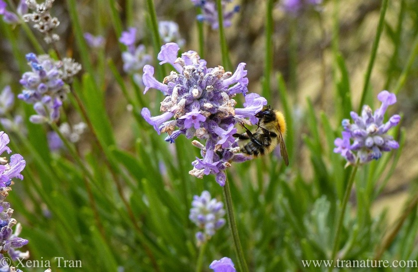 macro shot of a honey bee feeding on fading lavender blooms