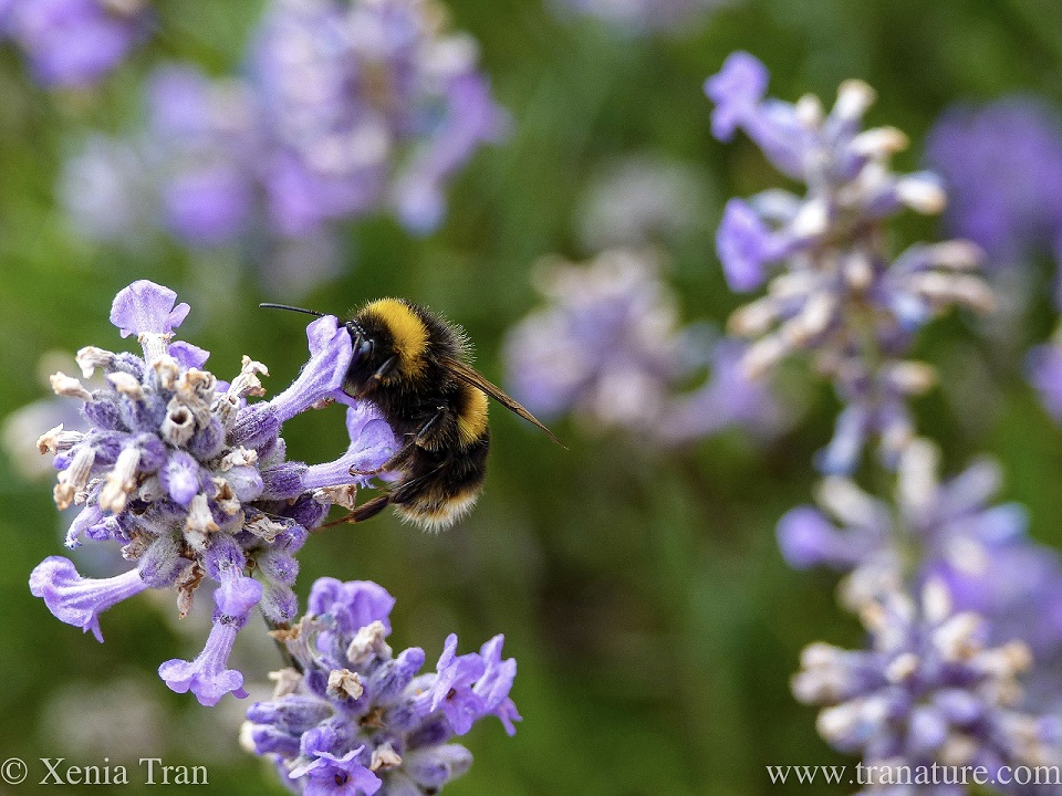 macro shot of a bumblebee feeding on fading lavender