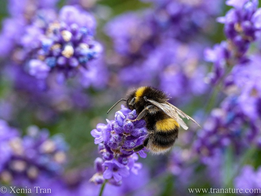 macro shot of a bumble bee feeding on lavender, seen from behind