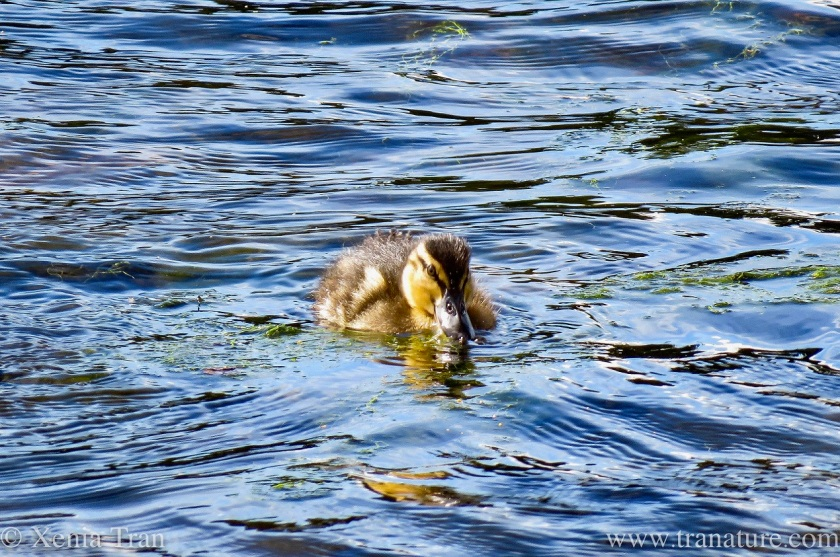 a young duckling swimming in the shallows of a tidal river