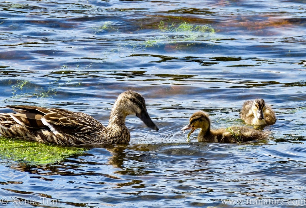 mama duck with two ducklings in the river