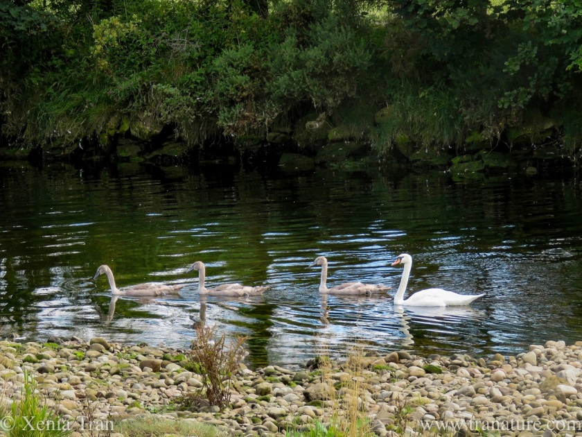 mama swan and her three cygnets swimming down the river