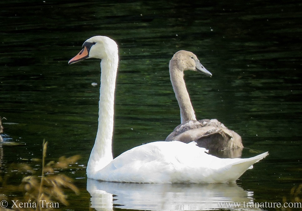 a pen with one of her cygnets on the river