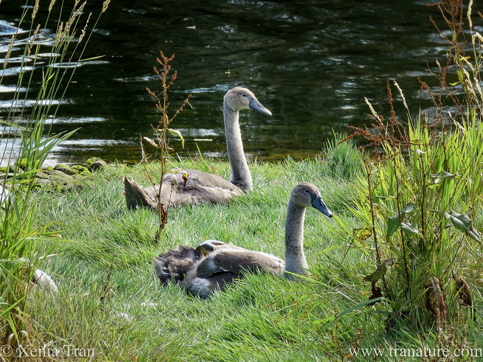 two cygnets resting on a grassy river bank