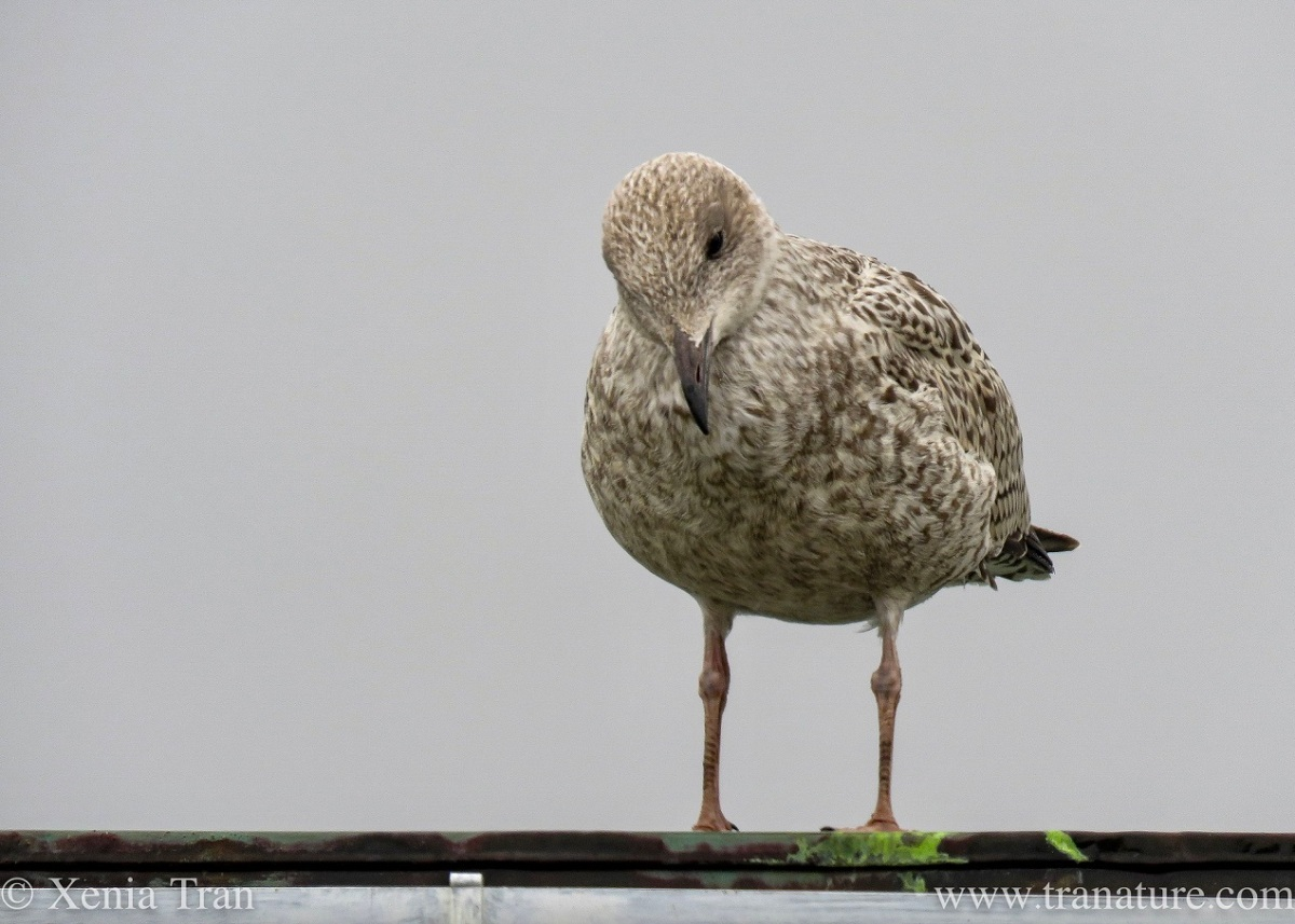 a herring gull chick looking down from the edge of a flat roof
