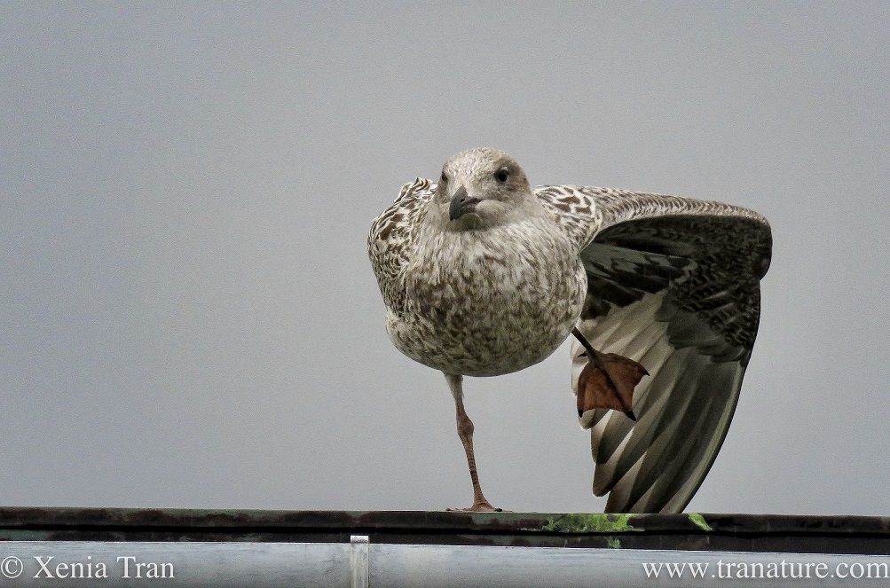 a herring gull chick stretches one leg and wing