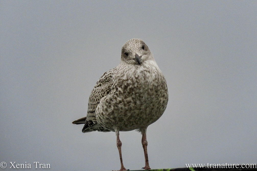a herring gull chick on a rooftop tilting her head at the camera