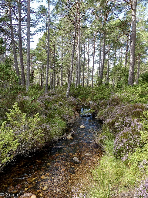 a clear mountain stream with heather and pine