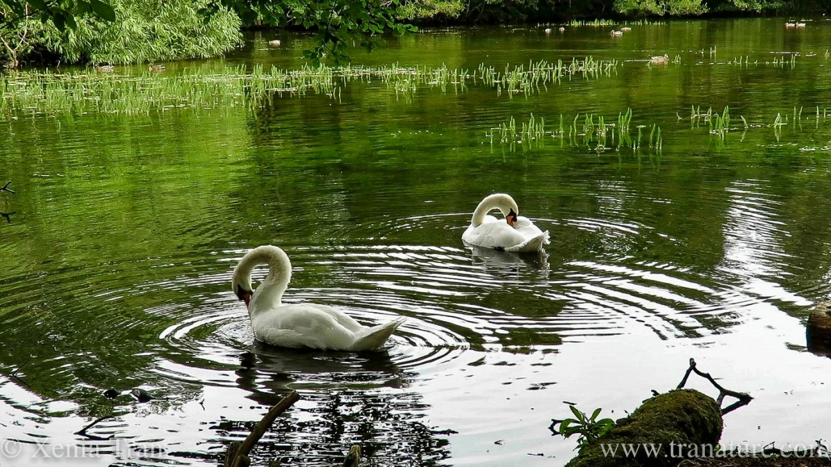 wide angle shot of a swan pair preening on a woodland pond