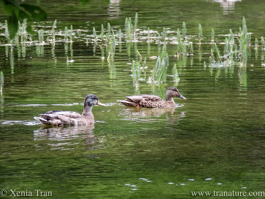 a pair of ducks swimming across a pond
