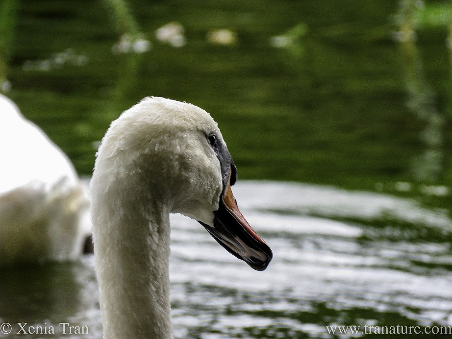 close up of a female swan's face