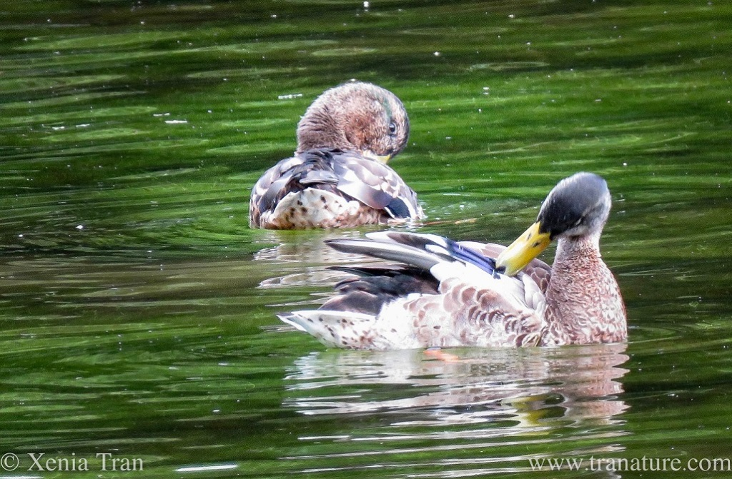two ducks preening on the pond