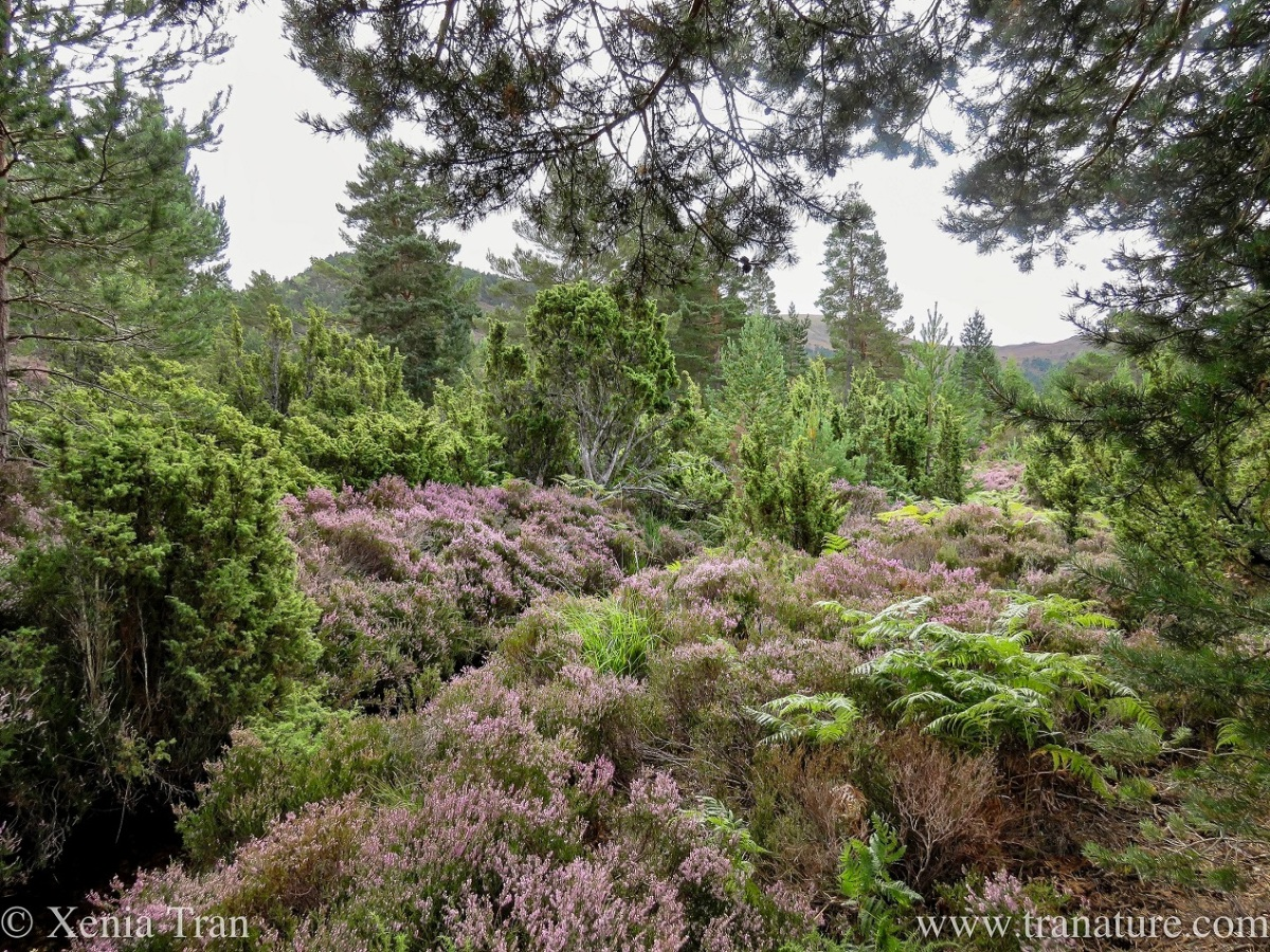 mountain heather in bloom between the pine