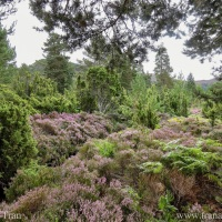 Wordless Wednesday: Highland Heather