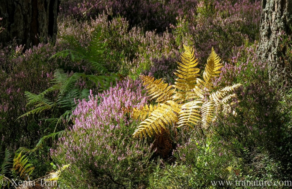 purple heather in bloom with a golden fern
