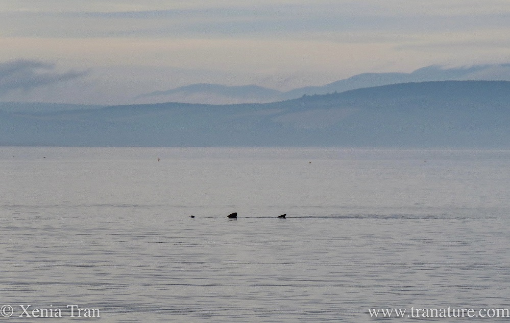 a basking shark swimming in the Moray Firth with mist and low cloud