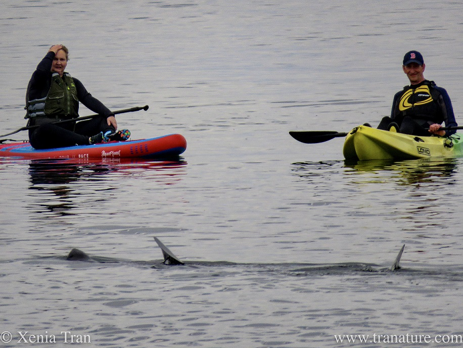 a woman on a paddle board and a man in a paddle boat watching a feeding basking shark