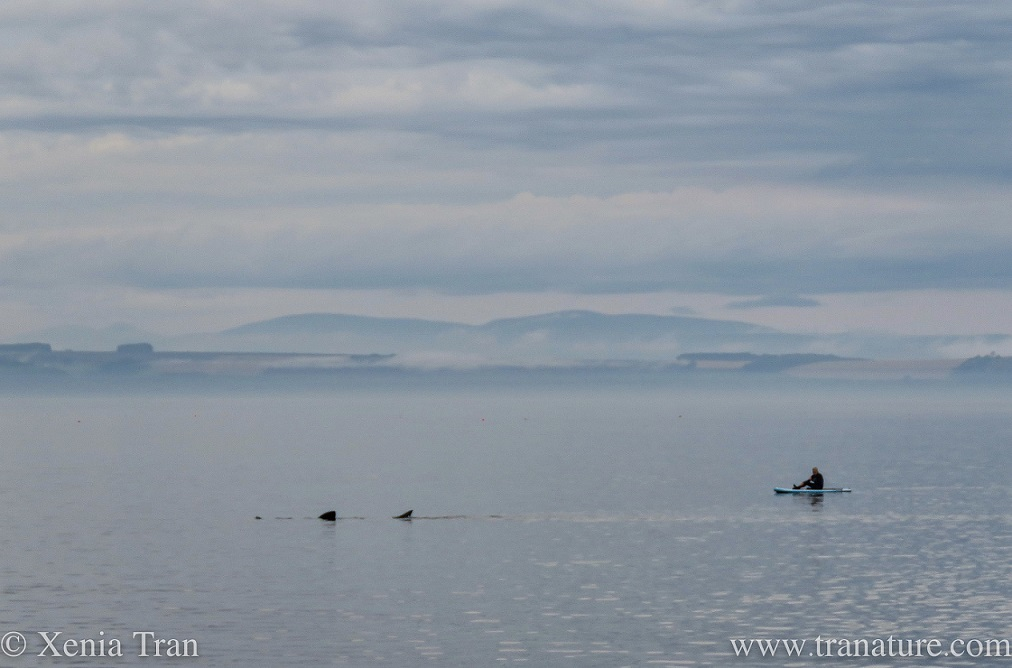 a basking shark in the Moray Firth with a paddle boarder