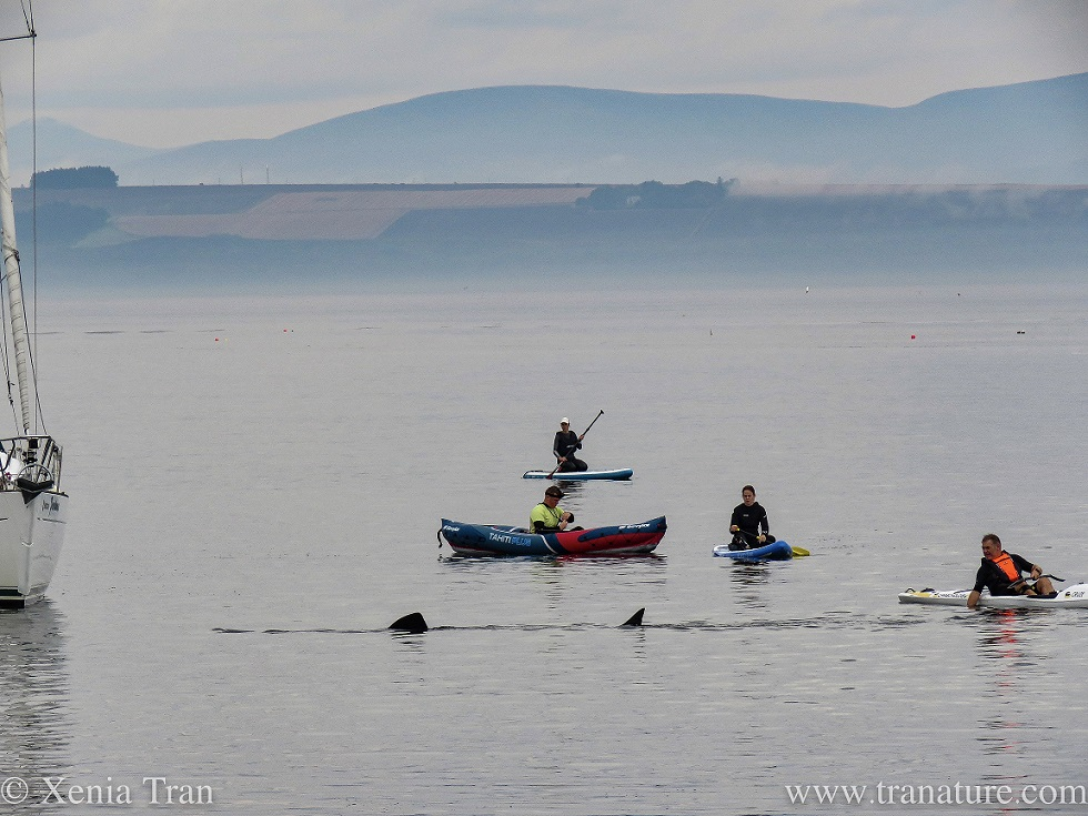 people on paddle boards, in paddle boats and kayaks watching a feeding basking shark