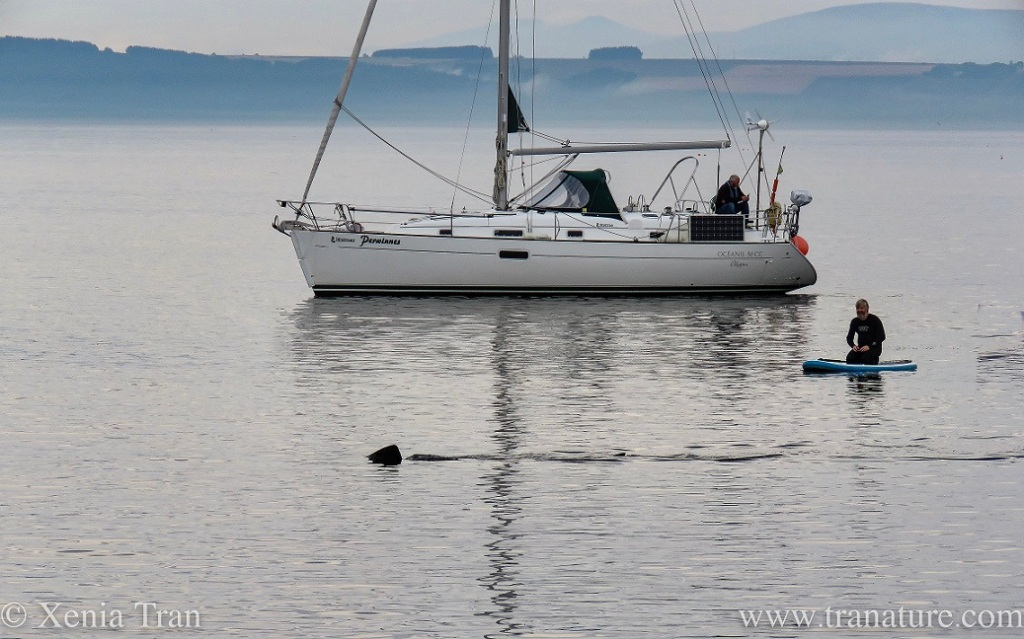 a man on a paddle board beside a sailing boat watching a feeding basking shark