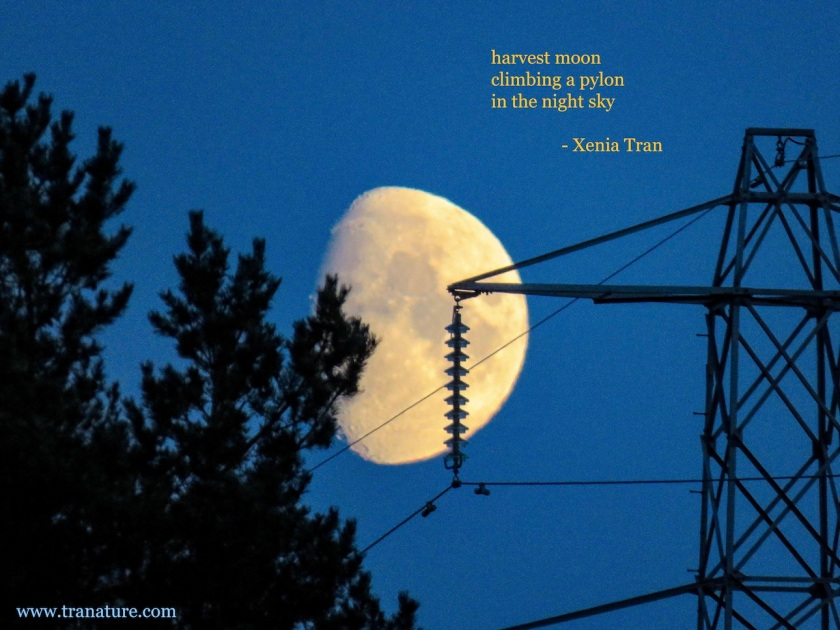 harvest moon rising beside a pylon and pine tree