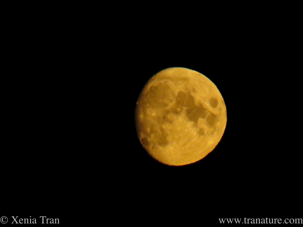 harvest moon glowing gold in a dark night sky