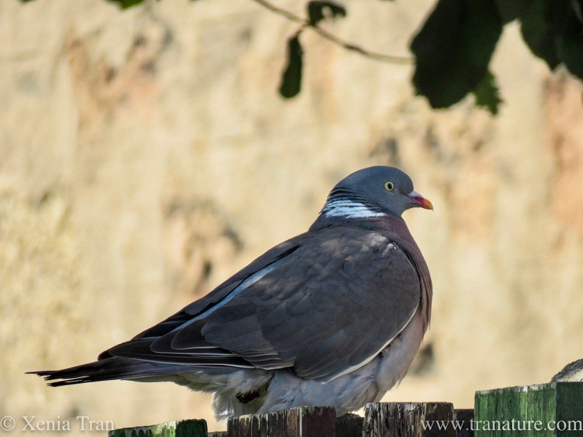 a woodpigeon sitting on top of a wooden fence