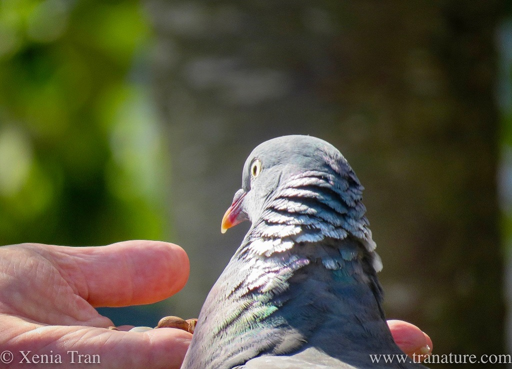 close up of a head shot of wood pigeon feeding from a hand