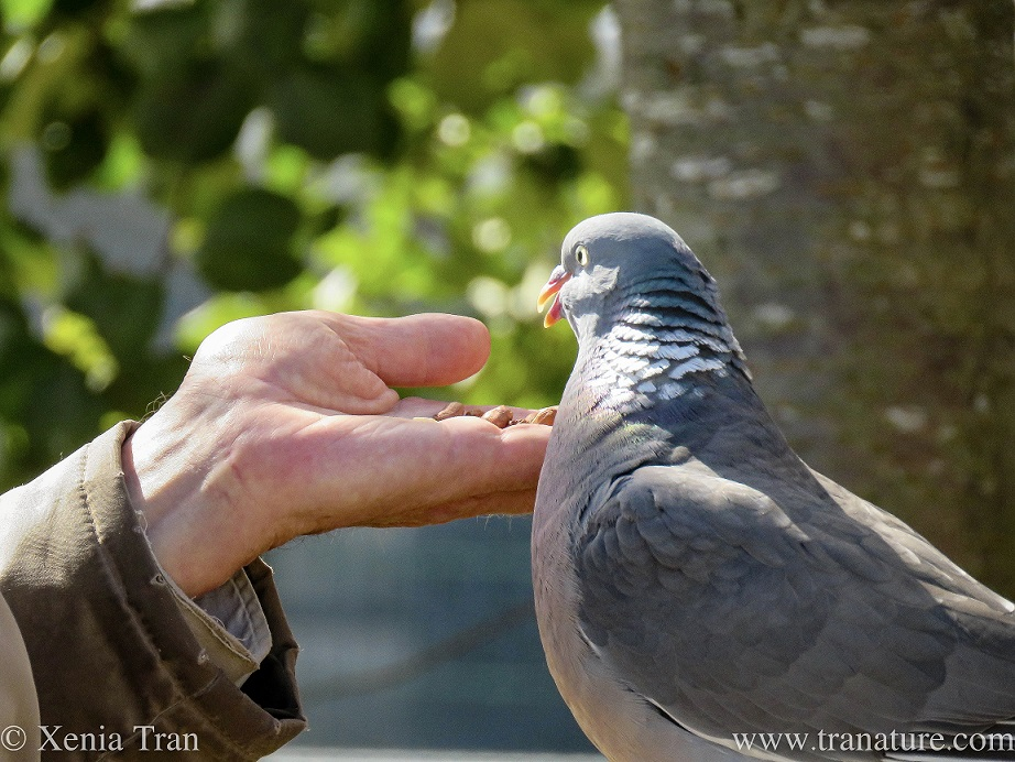 close up of a wood pigeon feeding from a hand