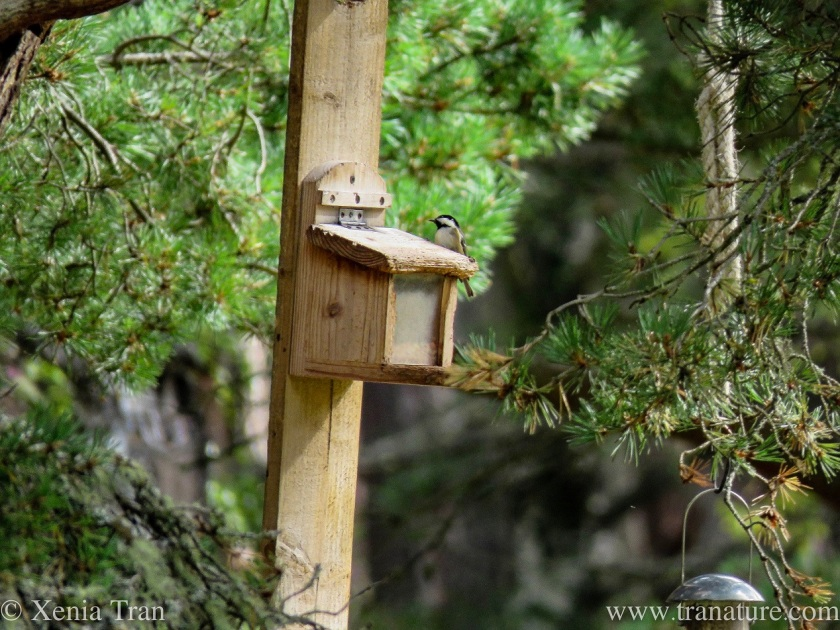 a coat tit on top of a squirrel feeder in a tree