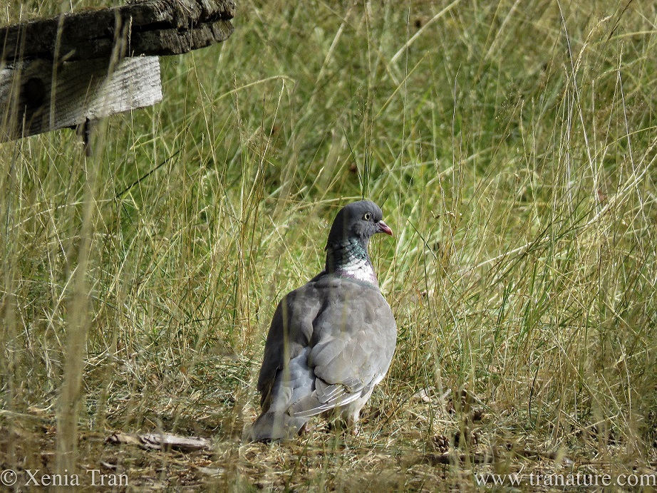 a wood pigeon in tall grass below a birdfeeder