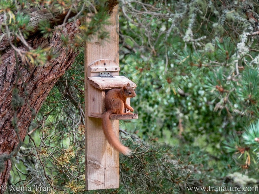 a red squirrel on a wooden squirrel feeder in a pine tree