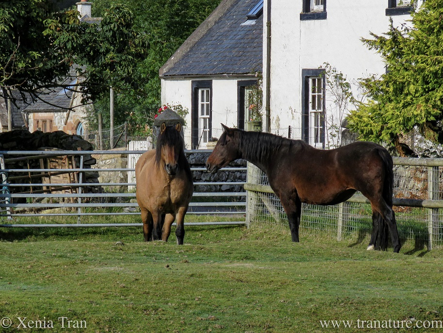 a chestnut and a bay mare in paddock by the farmhouse