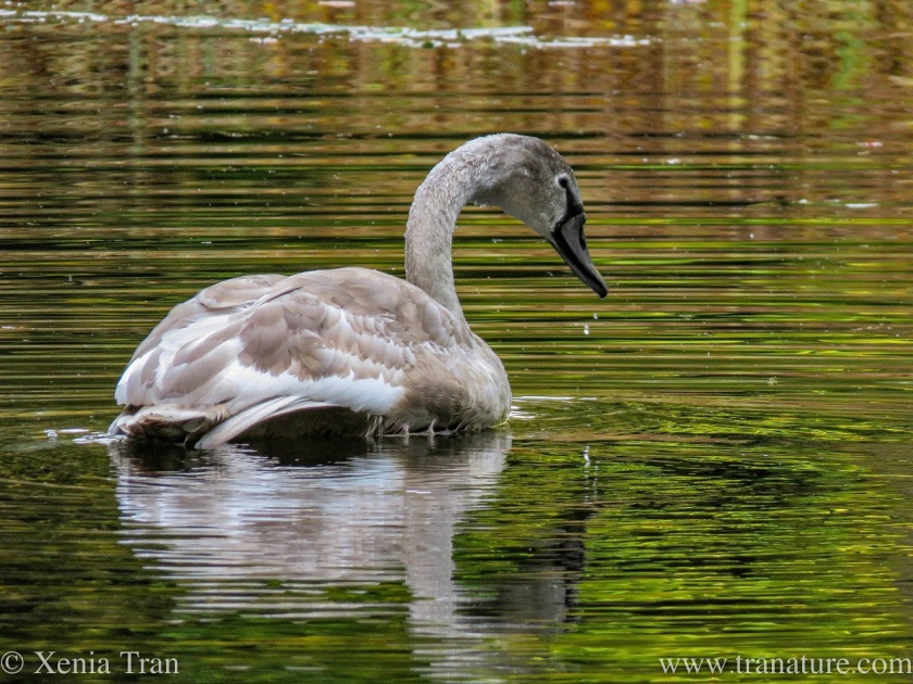 a four-month old cygnet on an autumnal loch