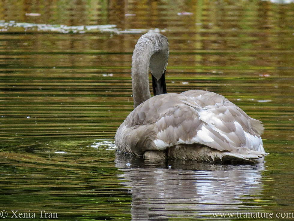 a four month old cygnet on a loch