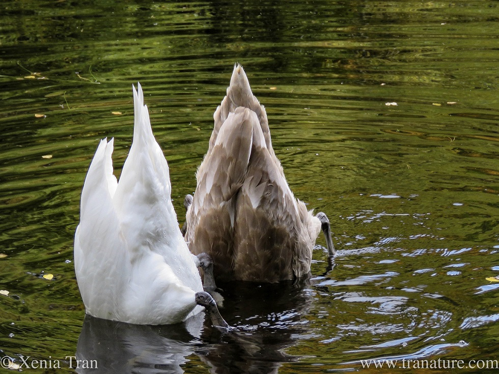 an adult swan and cygnet feeding upside down