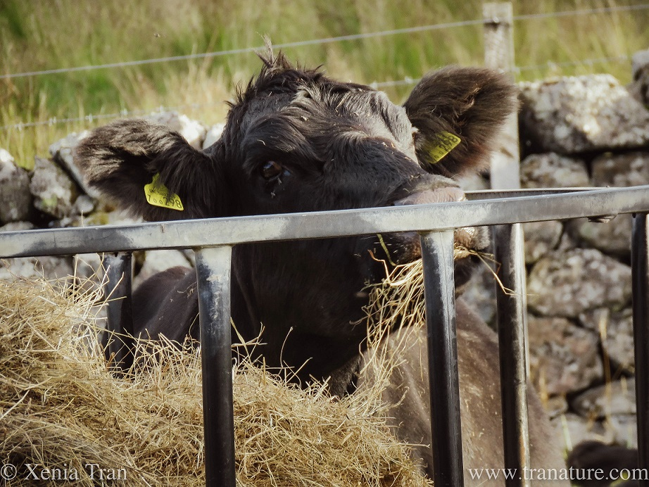 close up shot of a cow feeding on hay