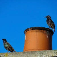 Silent Sunday: Starlings on the Roof