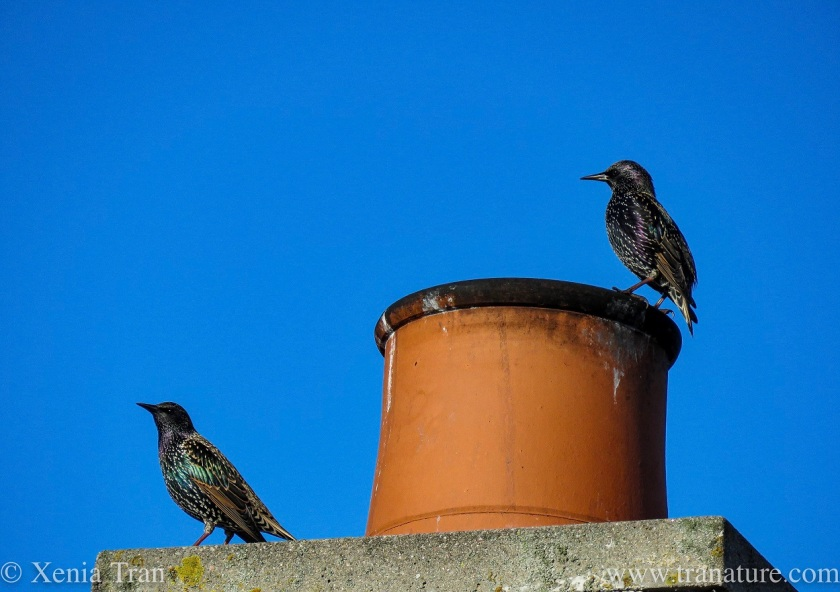 a pair of starlings on a chimney