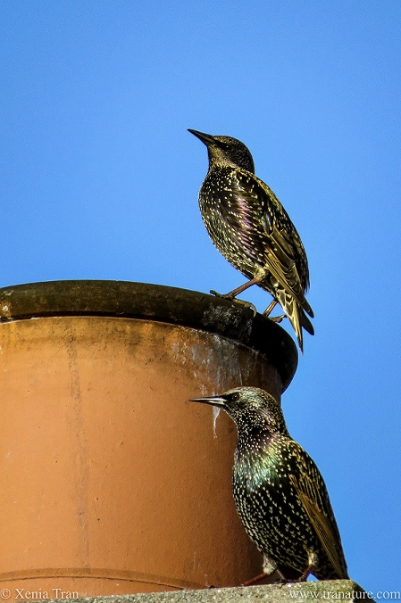 a pair of starlings by a chimney pot