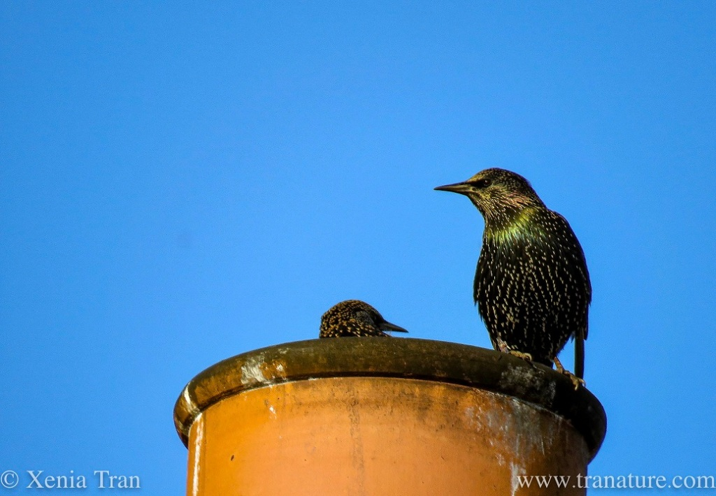 a pair of starlings on a chimney pot